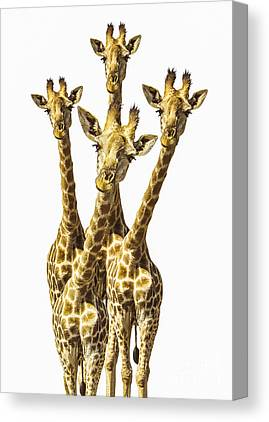 Giraffes Canvas Prints