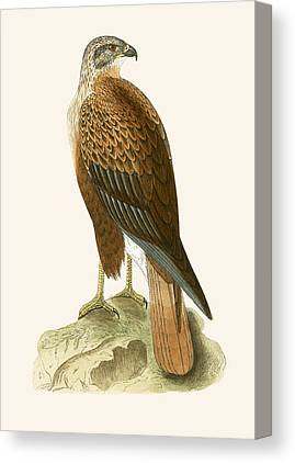 Buzzard Drawings Canvas Prints