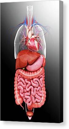 Sigmoid Colon Canvas Prints
