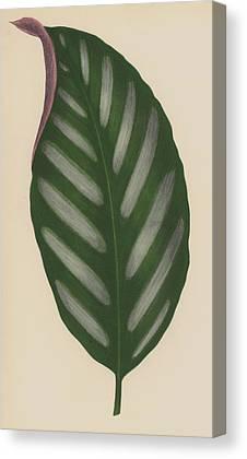 Leaf Venation Canvas Prints