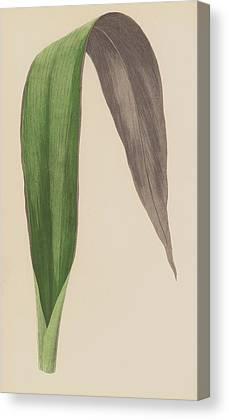 Tradescantia Canvas Prints