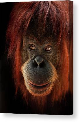 Orangutan Canvas Prints