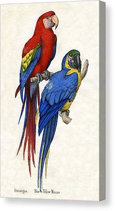 Macaw Drawings Canvas Prints