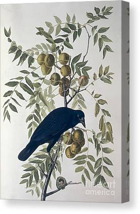American Crow Canvas Prints