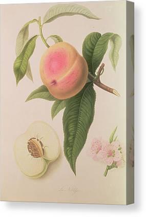 Plum Drawings Canvas Prints