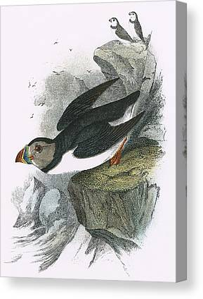 Puffin Drawings Canvas Prints