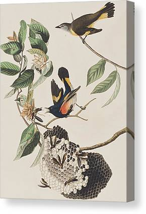 American Redstarts Canvas Prints