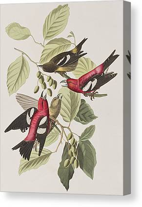 Crossbills Canvas Prints