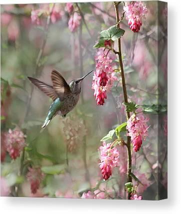 Annas Hummingbird Canvas Prints