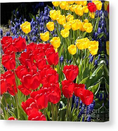 Backlit Tulip Canvas Prints
