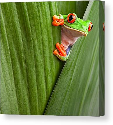 Red-eyed Tree Frog Canvas Prints