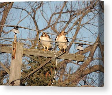 Two Hawks On A Telephone Pole Red Tail Canvas Prints