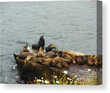 The Sea Lion And His Harem Canvas Prints