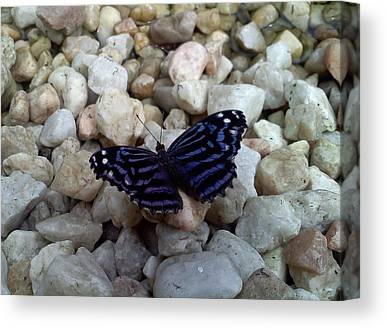 Black And Blue Butterfly With White Spots Canvas Prints