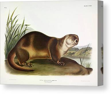 Northern River Otter Canvas Prints