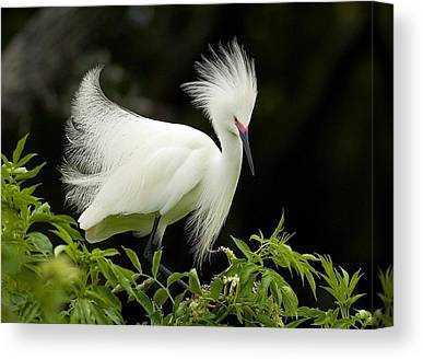 Spoonbills Canvas Prints