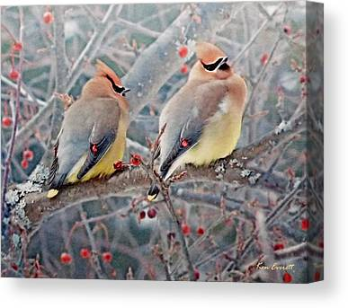 Cedar Waxwings Canvas Prints