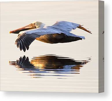 Brown Pelicans Canvas Prints