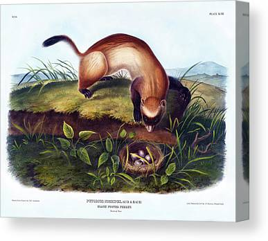 Black-footed Ferret Drawings Canvas Prints