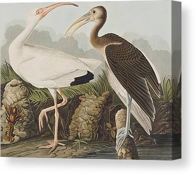 Ibis Canvas Prints