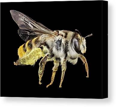 Australian Bee Canvas Prints