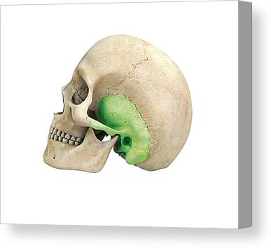 Temporal Bone Canvas Prints