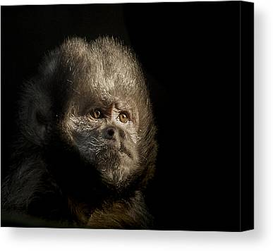 Capuchin Canvas Prints
