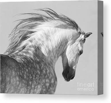 Andalusian Stallion Canvas Prints