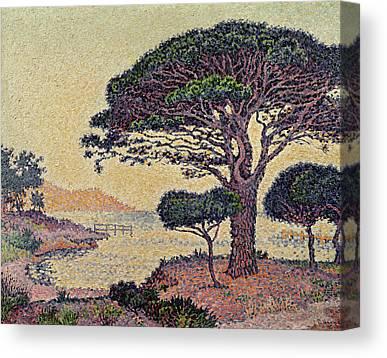 Umbrella Pine Canvas Prints