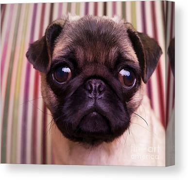 Pug Puppy Cute Dog Breed Portrait Pet Animal Toy Lap Canvas Prints