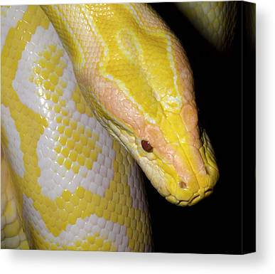 Burmese Pythons Canvas Prints