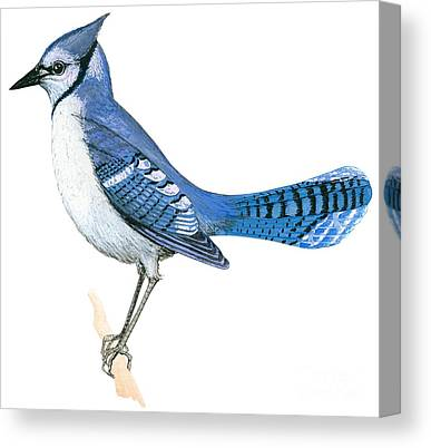 Bluejay Drawings Canvas Prints