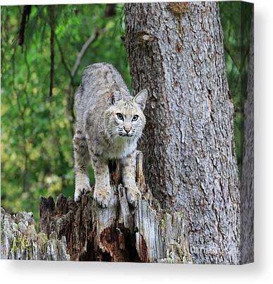 Male Bobcat Canvas Prints
