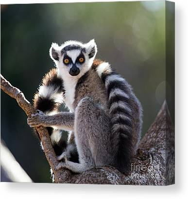 Ring-tailed Canvas Prints