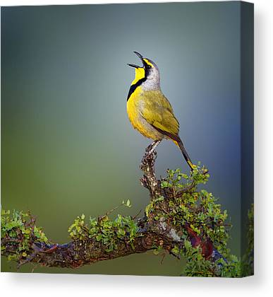 Small Birds Canvas Prints