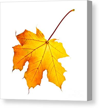 Maple Leaf Canvas Prints