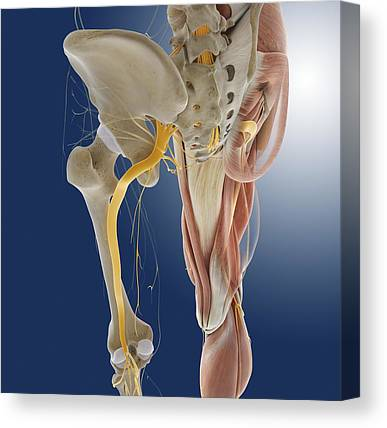 Peroneal Nerves Canvas Prints