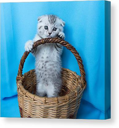 Scottish Folds Canvas Prints