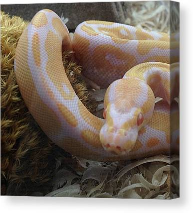Ball Pythons Canvas Prints