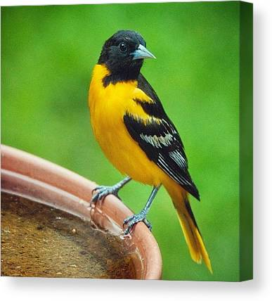 Orioles Canvas Prints