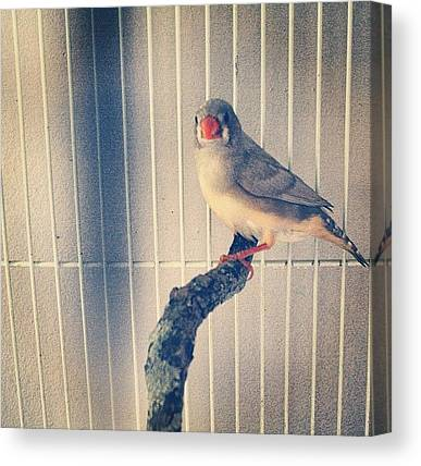 Finches Canvas Prints