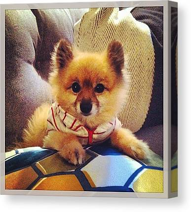 Pomeranians Canvas Prints