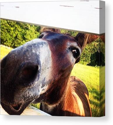 Donkeys Canvas Prints