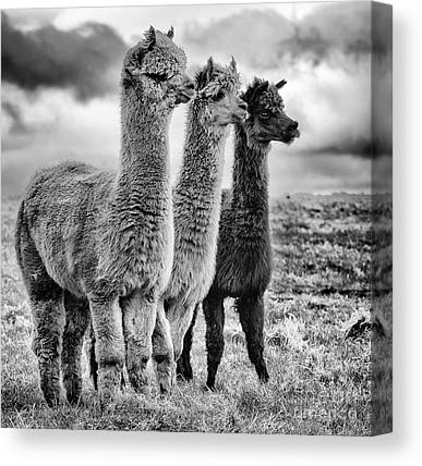 Llamas Canvas Prints