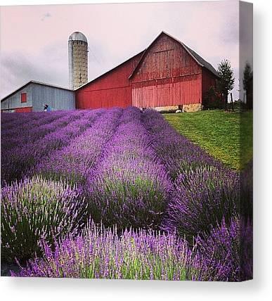 Lavender Canvas Prints