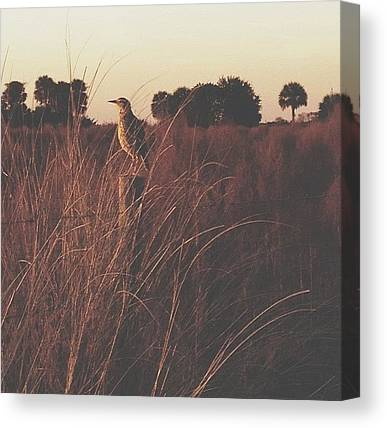 Meadowlarks Canvas Prints