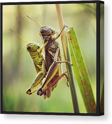 Grasshoppers Canvas Prints