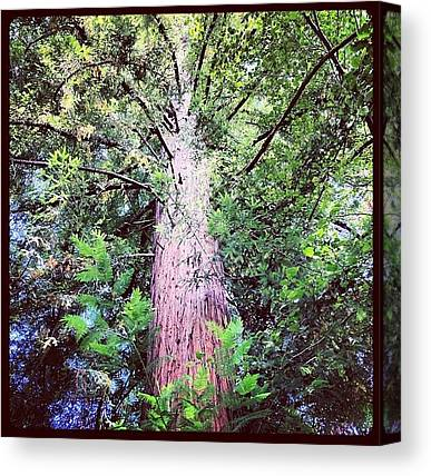 Redwood Forest Canvas Prints