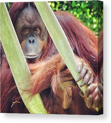 Orangutans Canvas Prints