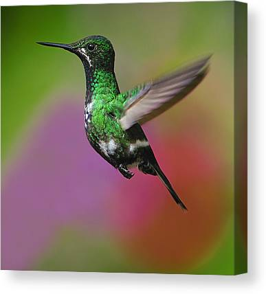 Green Thorntail Canvas Prints